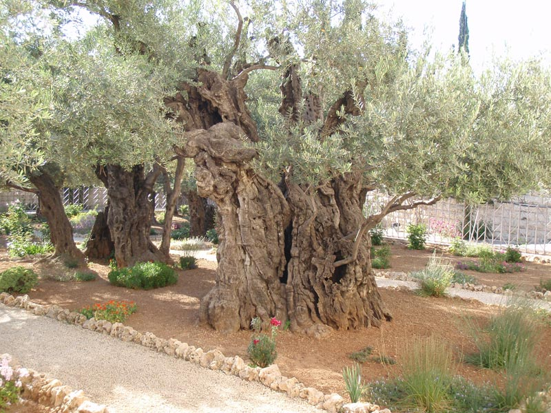 Olive trees of Gethsemane